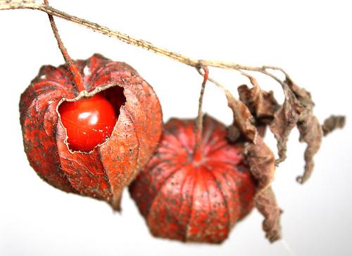 Ahmet maranki bitkisel tedaviler faydalı bitkiler sağlık kürleri