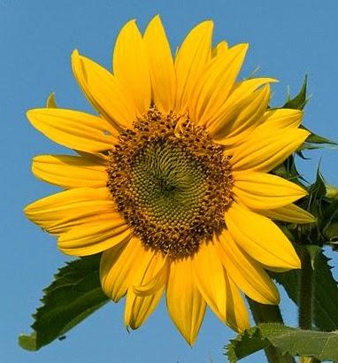 Bunga Matahari Menurunkan Tekanan Darah Tinggi
