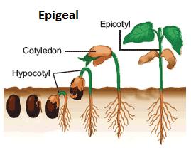 Seedling Definition For Kids