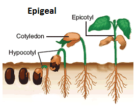 seed+germination+epigeal.png