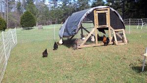 Starter Flock in their Hoop House