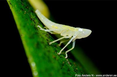 insekt, smådjur, bug, insect, filur, macro, makro, makrofotografering, foto anders n