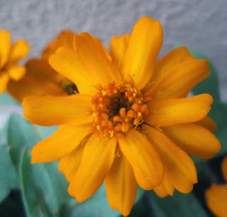 Zinnia's colorful bloom