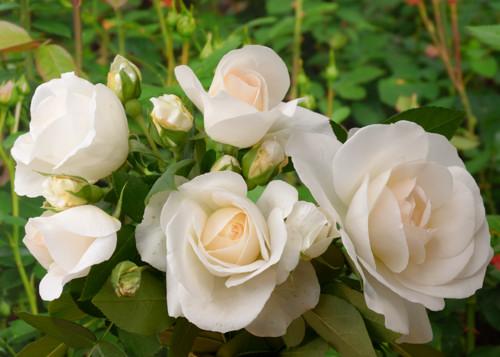 Kosmos rose сорт розы фото