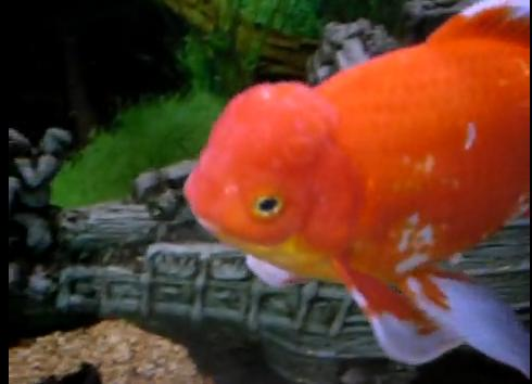 Can goldfish die from anchor worms goldfish care for Anchor worm on fish