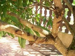 Langkah-langkah Mengatasi Ulat Pengorek Pokok