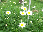 My Shasta Daisies are starting to bloom