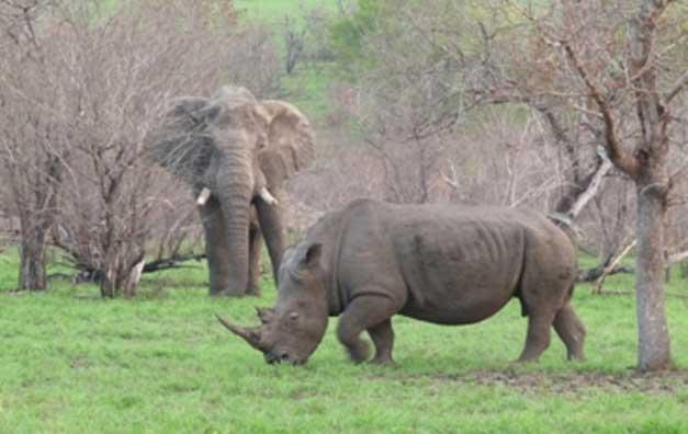 elephant and rhino comparison