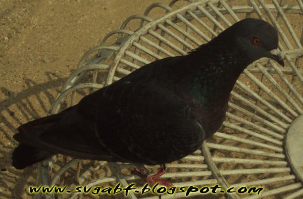 Merpati Balap SvGA Bird Farm
