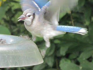 blue jay tries to recover