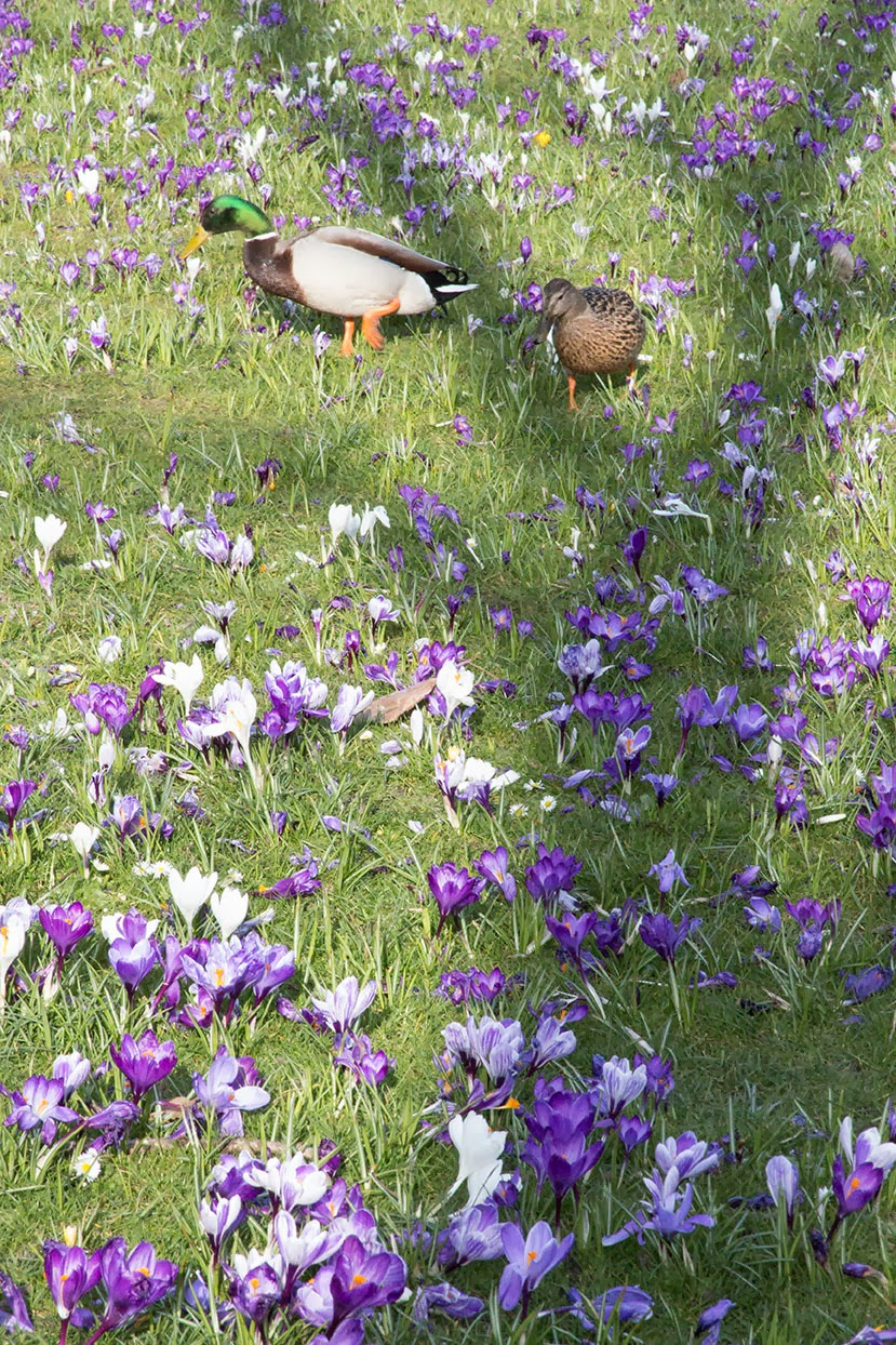 ducks amongst crocuses