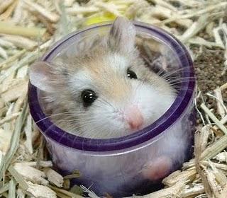 Trại bọ ú: Hamster, bọ ú, guinea pig, thỏ kiểng. Sỉ và lẻ! - 36