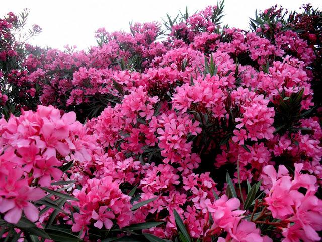 red oleander We have a red oleander bush in bloom in the garden tenemos un arbusto de adelfa roja en flor en el jardín.