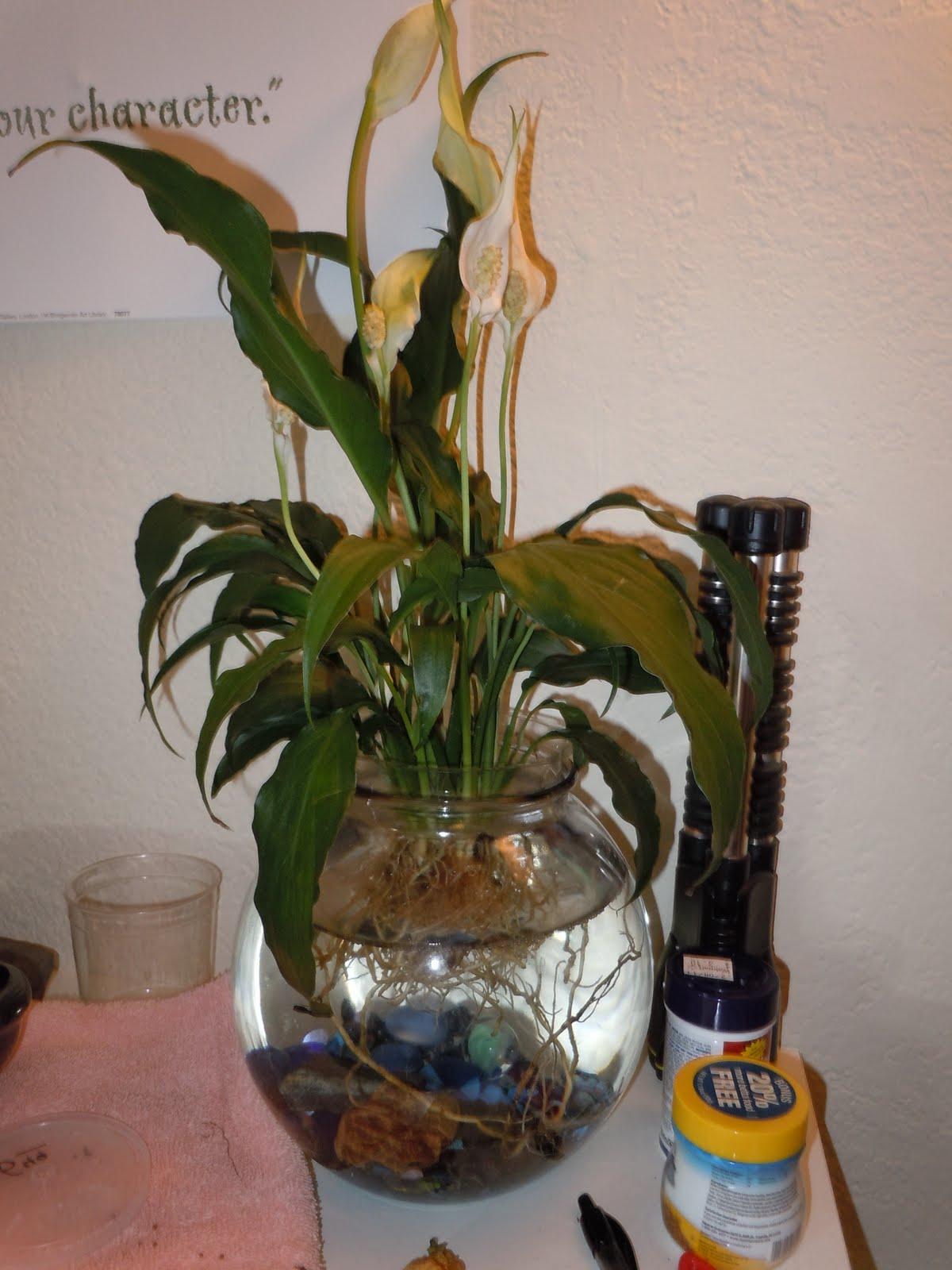 Plants for betta fish live aquarium plants pictures ep for Betta fish plant