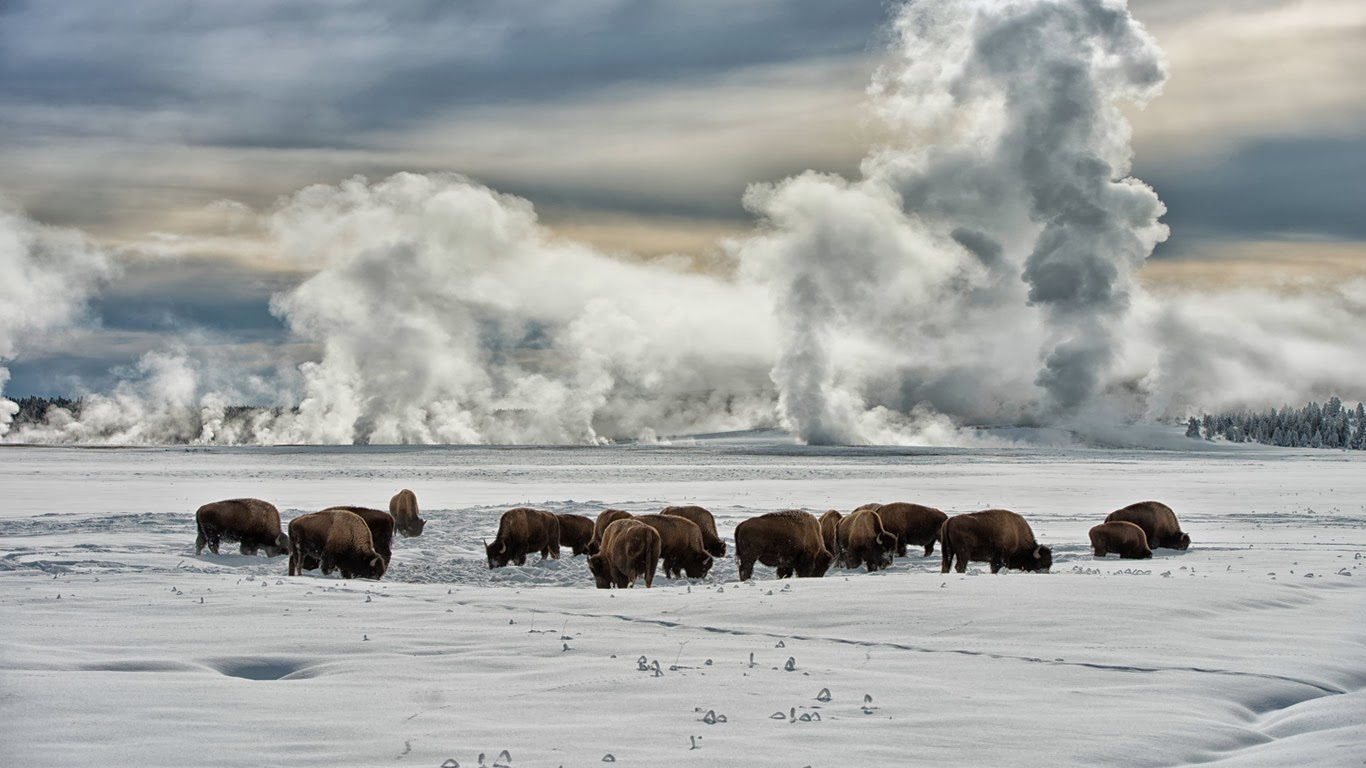 American bison wintering at Fountain Flats, Yellowstone National Park, Wyoming (© Jeff Vanuga/Corbis) 387