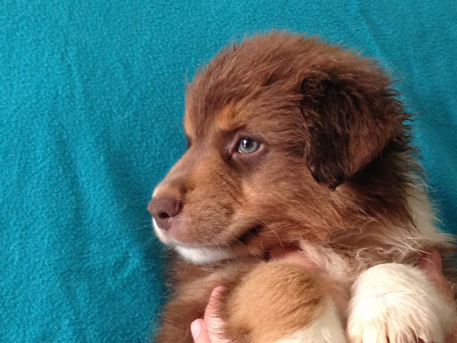 cachorro pastor australiano