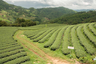 Tea plantation Doi Mae Salong