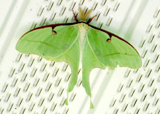 Since luna moths fly at night, Tessa had the entire day to enjoy this incredible creature.