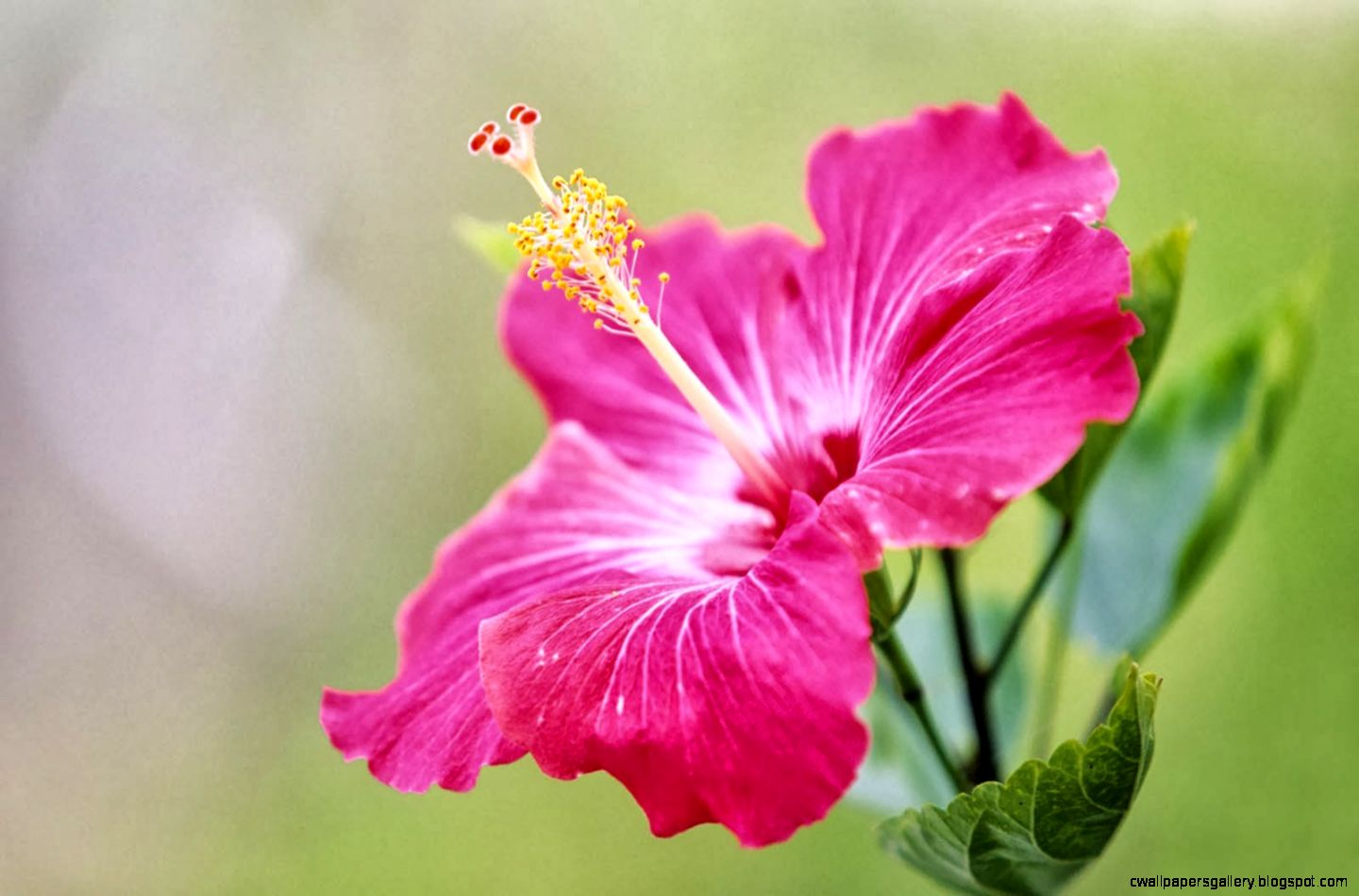 Collection of hibiscus flower wallpaper on