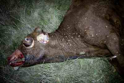 'Mysterious' Cow Mutilations Spur Alien Theories