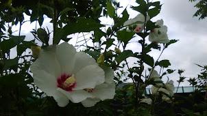 韓国の国花  ムクゲ