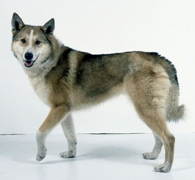 The dog in world: East Siberian Laika dogs