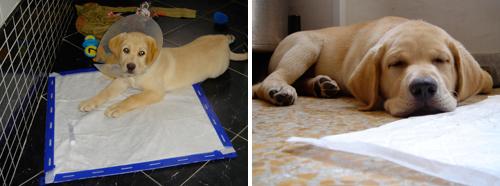 Come insegnare ai cuccioli dove fare i bisogni attilabrador for Casa progetta il trotto del cane