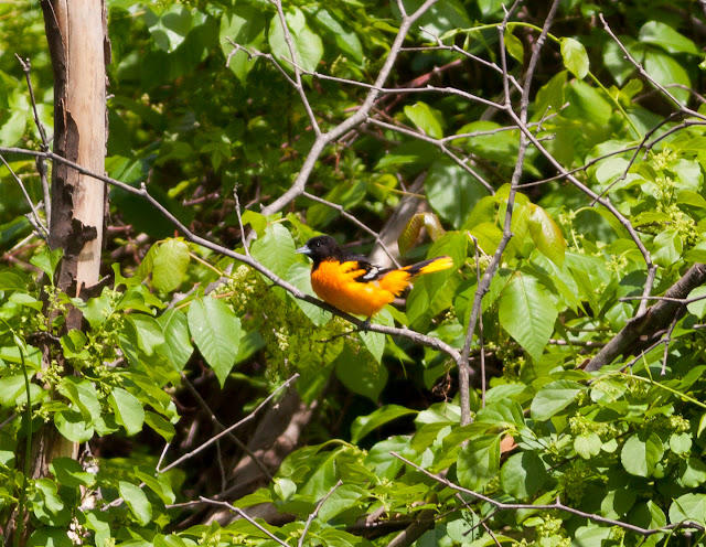 Baltimore Oriole - Doodletown, New York