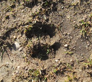Track of a deer on Creagan Riabhach walk, Deeside