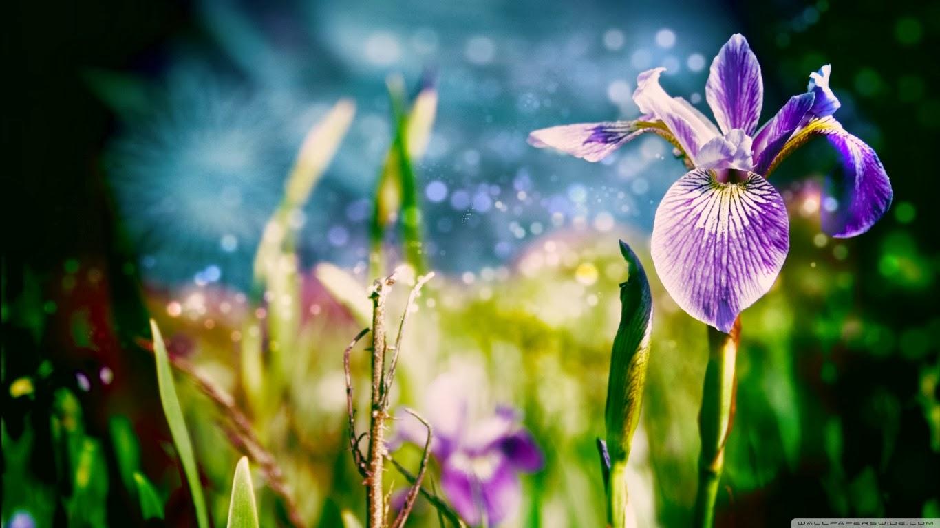 Beautiful Flower Wallpaper full HD Blue for Desktop