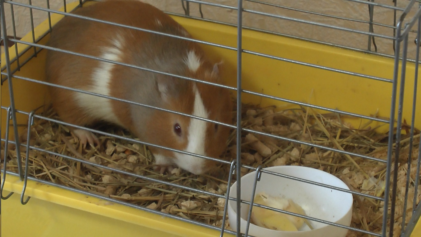 видео покупки для морских свинок сзоомагазина