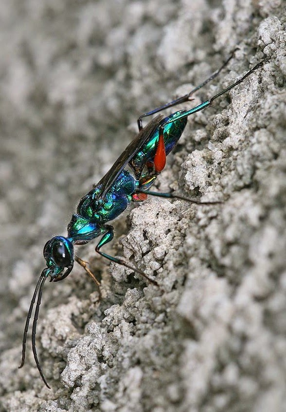 Jewel wasp, the wasp that mind controls cockroaches