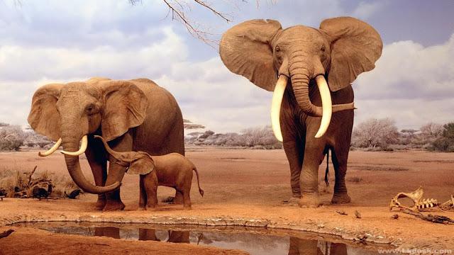 Hình ảnh voi châu phi đẹp