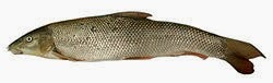http://fr.wikipedia.org/wiki/Barbeau_%28poisson%29