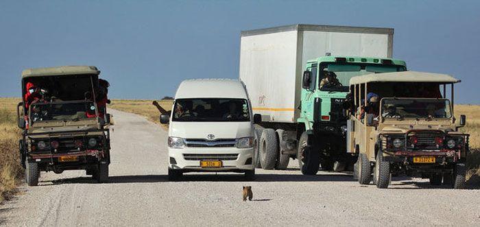 http://3.bp.blogspot.com/-1WlZ3fJchg0/UCvtQLBddMI/AAAAAAAASxk/-GTW0vEVWbo/s1600/lioness-and-cubs-crossing-road-003.jpg