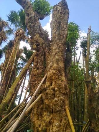 Jual pohon kamboja bali | pohon pelindung | jasa tukang taman | suplier tanaman hias | rumput | kolam minimalis