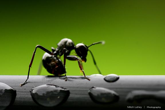 Adakah Semut Haram Dibunuh ?