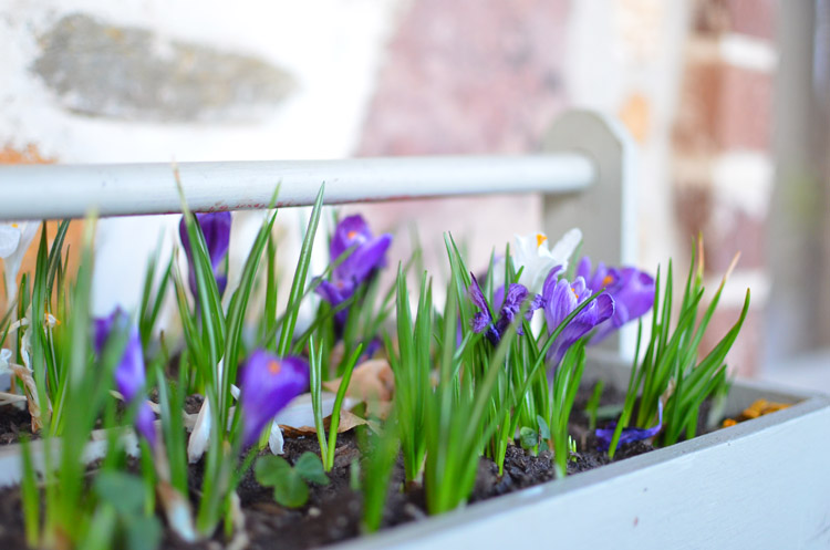 Crocus in Spring Toolbox Planter Photo by Amy Renea of A Nest for All Seasons