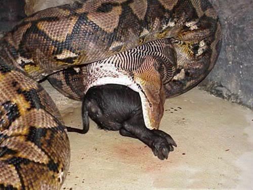 gambar ular terbesar di dunia makan orang - gambar ular