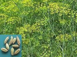 Cara Mengobati Sariawan Dengan Adas (Foeniculum Vulgare Mill)