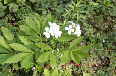 Cardamine eptaphylla (Dentaria pennata)