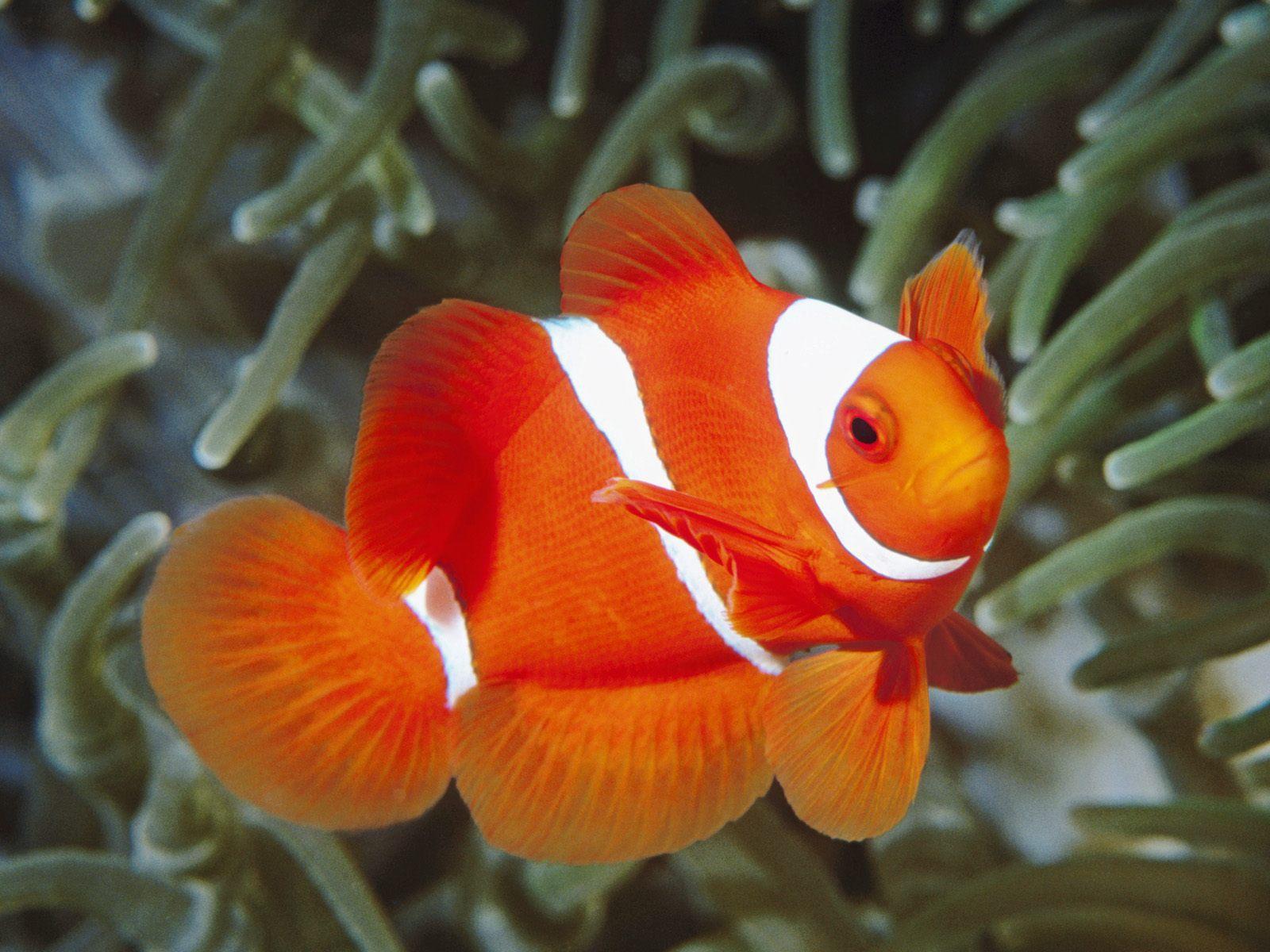 Pez payaso varios hd imagenes taringa for Variedad de peces