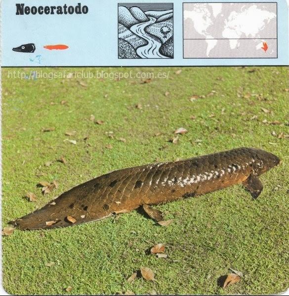 Blog Safari Club, el Neoceratodo, es un fósil viviente