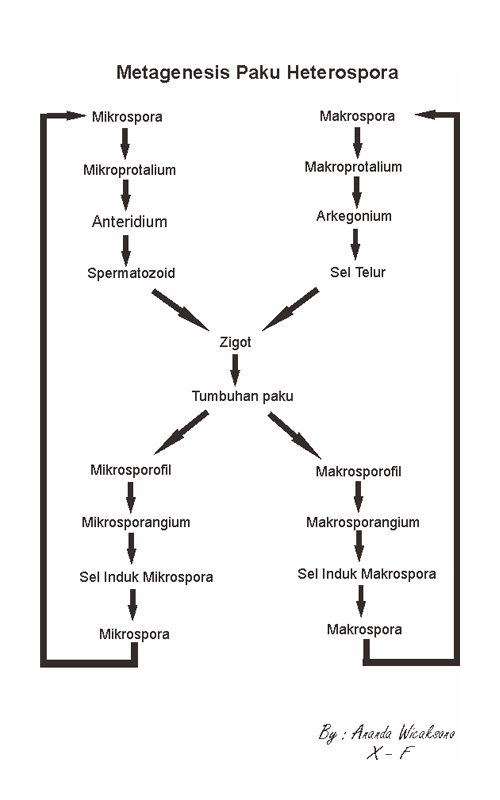maneka warna: Bryophyta (tumbuhan lumut) 2. Pteridophyta ...