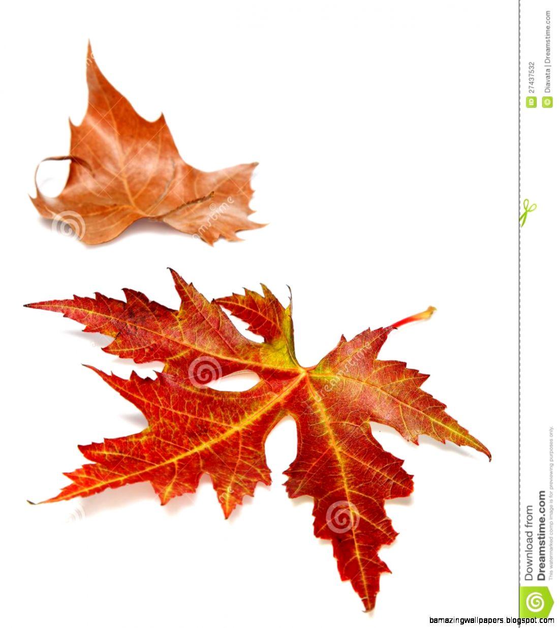 Two Autumn Leaves On A White Background Stock Photography   Image