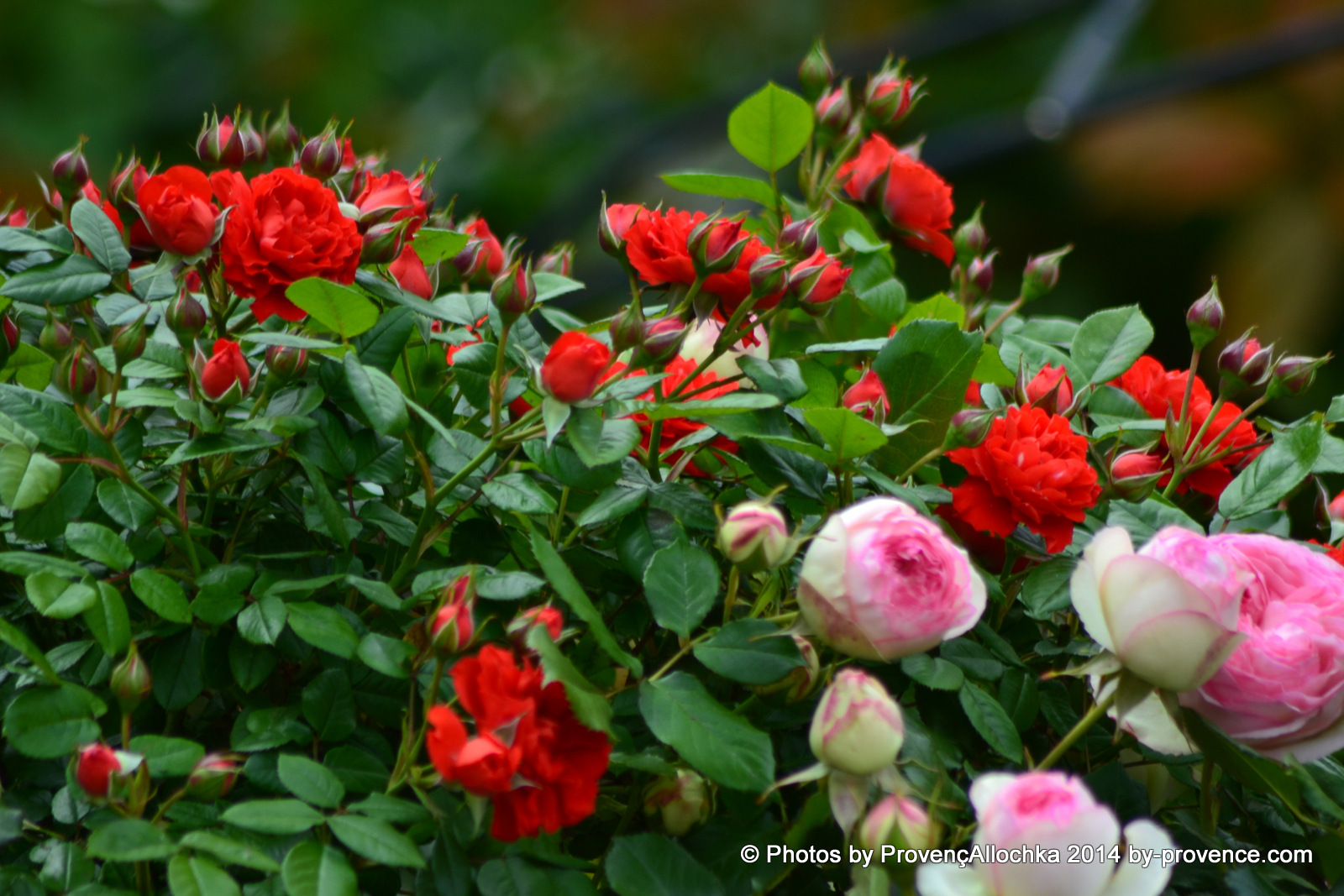 roses rouge et rose