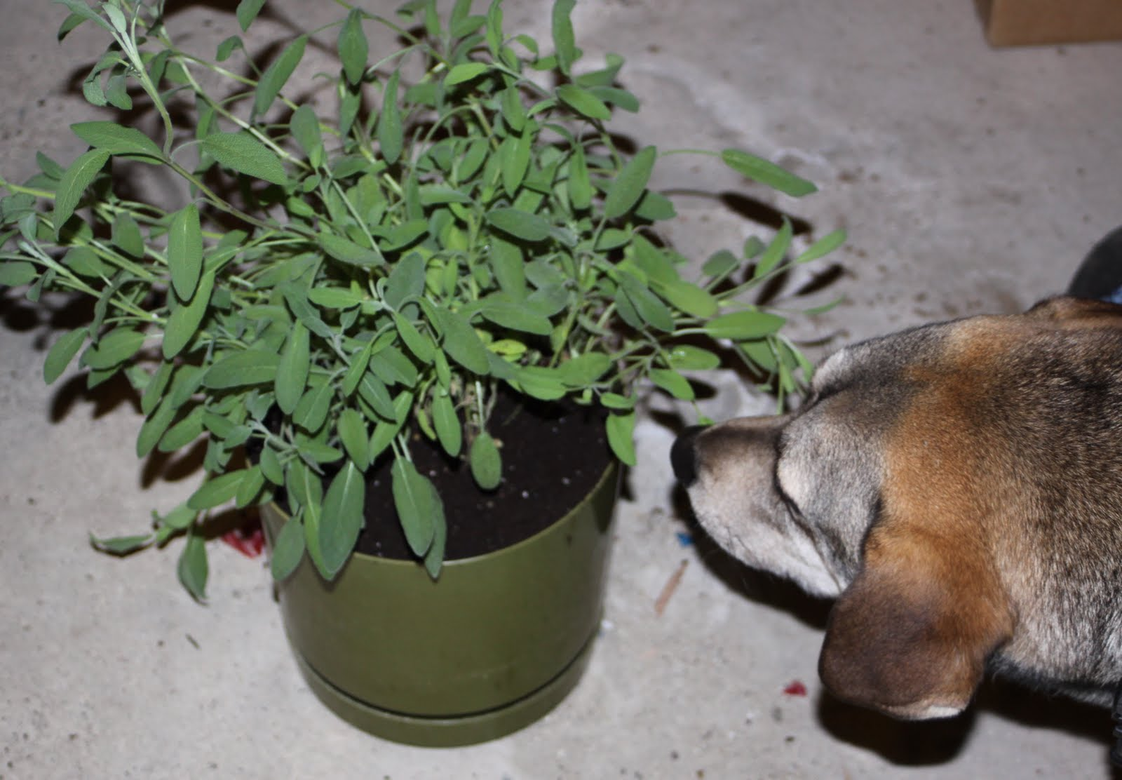 how to grow sage in a pot
