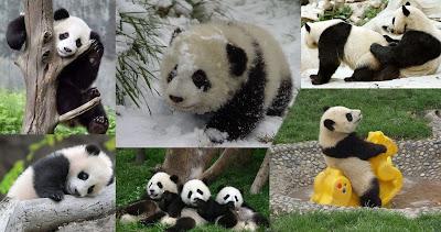 Panda Montage