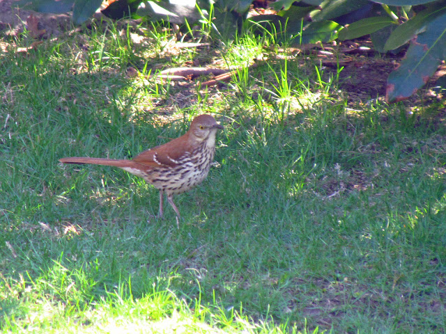 brown thrasher another view