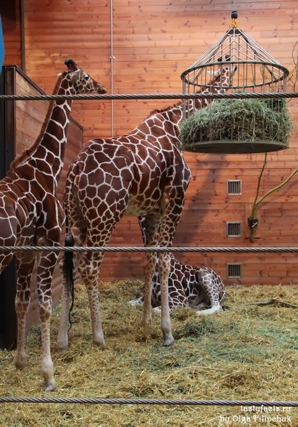Жирафы в Копенгагенском зоопарке
